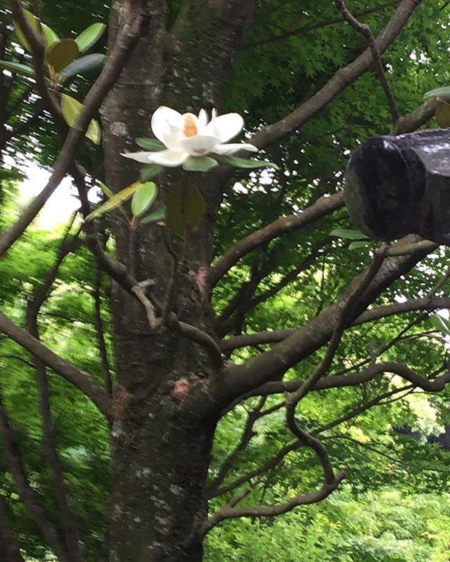 阿弥陀寺のタイセンボクの花