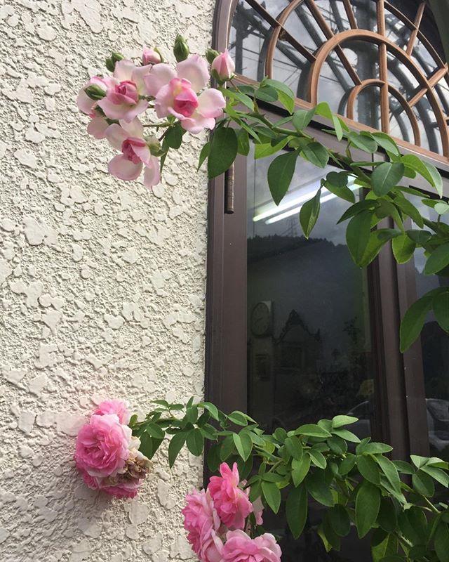 涼しくなって咲くバラは色が美しい