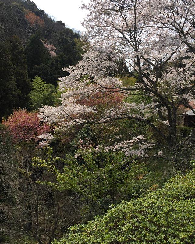 山の中にある個人が植えられた 桃源郷  華やかな桜とは違った美しさ