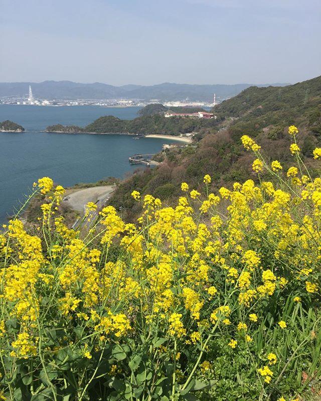 菜の花と春の海孫との思い出の記憶たどりました