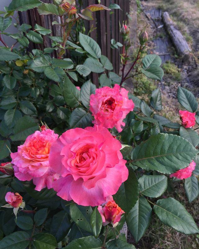 今までにない、美しい花かつきました朝、コーヒーカップ片手に一回り