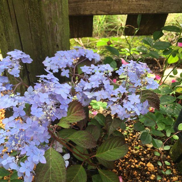 ちひろさんありがとう我が家の庭で雨上がり、美しさきわだっています